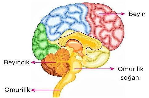 beyinciğin görevleri
