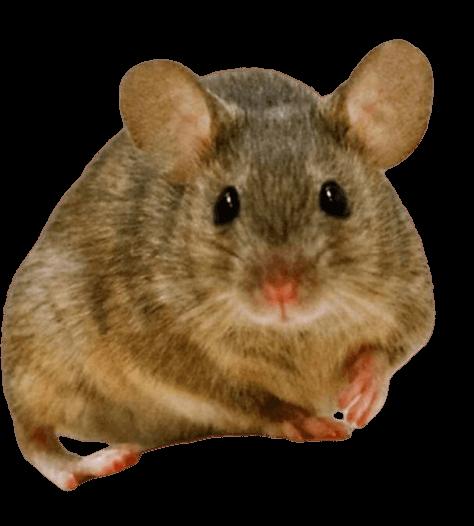 rüyada fare görmek