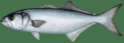 lüfer balığı kalori