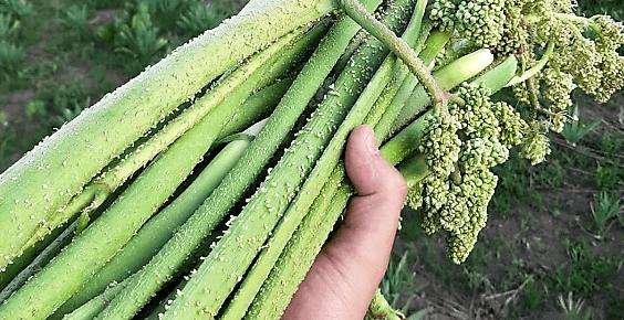 ışkın bitkisi
