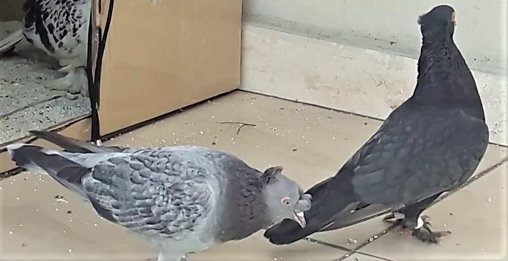 güvercin kur yapma